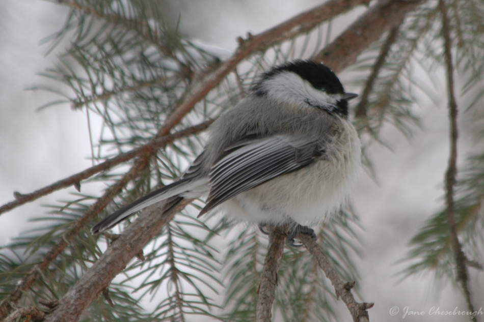 Puffed up Against the Cold